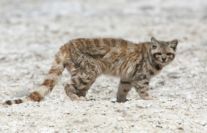 gato-andino-1