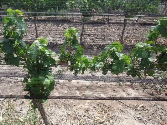 Productores viñateros del Valle de Uco podrán hacerle frente a las plagas de suelo