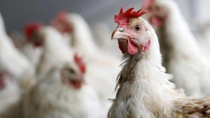 India y Francia sacrifican a centenares de miles de aves de corral por avance de la gripe aviar