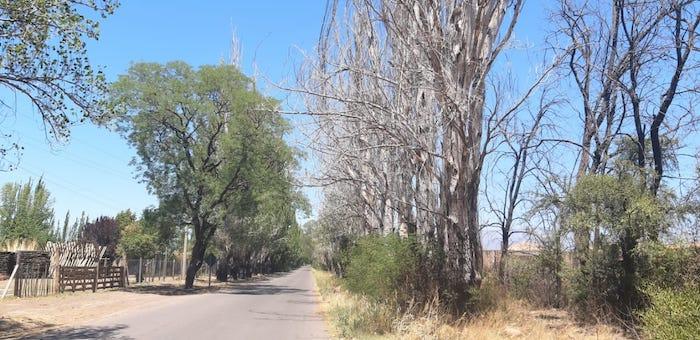 Vialidad comenzó  un plan de erradicación de árboles añosos que tienen peligro de caída