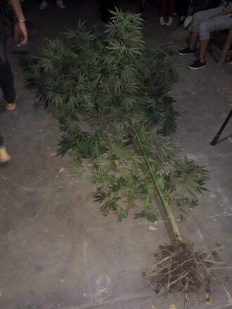 Plantas-de-marihuana-2-allanamiento-Villa-San-Carlos