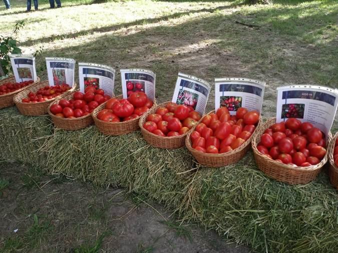Tomates-INTA-La-Consulta
