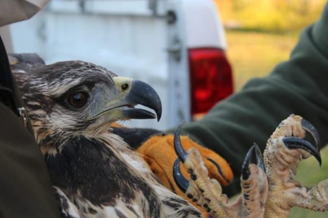 Gran operativo para salvar a un águila coronada: se rehabilitó en San Carlos y será operada en Buenos Aires
