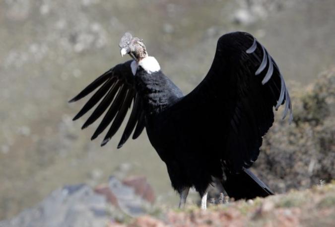 condor-huarpe2