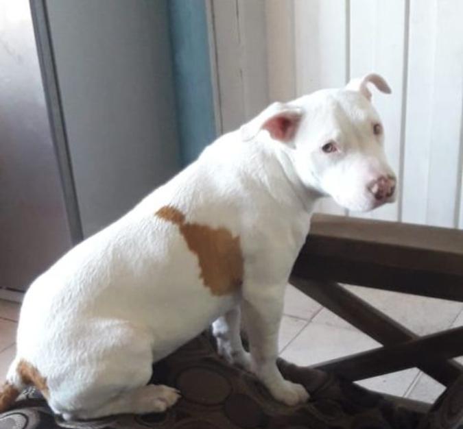 Buscan a una perra pitbull que se extravió en Tupungato