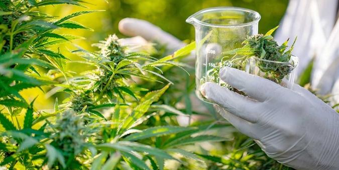 San Carlos quiere producir cannabis medicinal: el proyecto prevé 150 puestos de trabajo